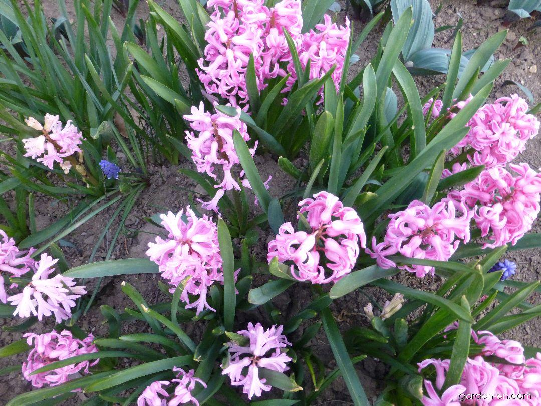Hyacinthus orientalis Marconi (Common Hyacinth)