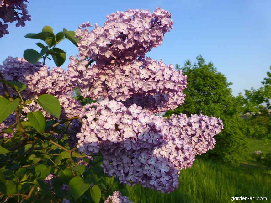 Common Lilac - Syringa vulgaris President Massart
