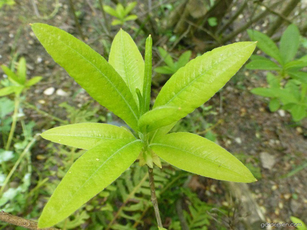 Pěnišník Goldlack - list (Rhododendron x gandavense)