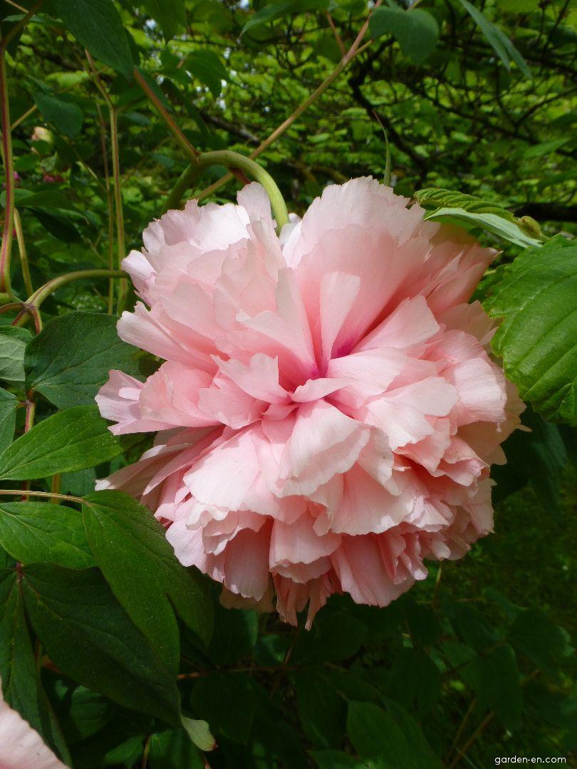 Moutan Peony - Paeonia suffruticosa Comtesse de Tuder