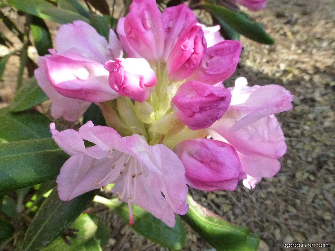 Pěnišník jakutský Ken Janeck - květ (Rhododendron yakushimanum)
