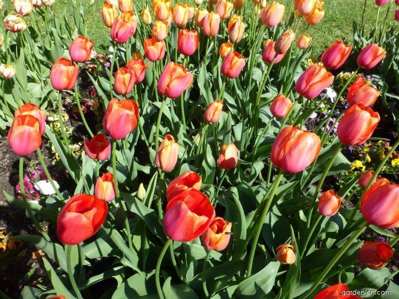 Tulip - Tulipa Avignon
