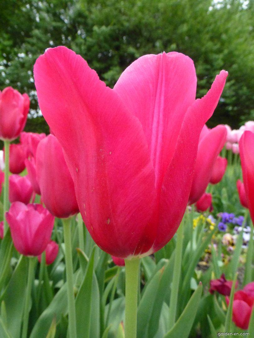 Tulip - Tulipa Halcro