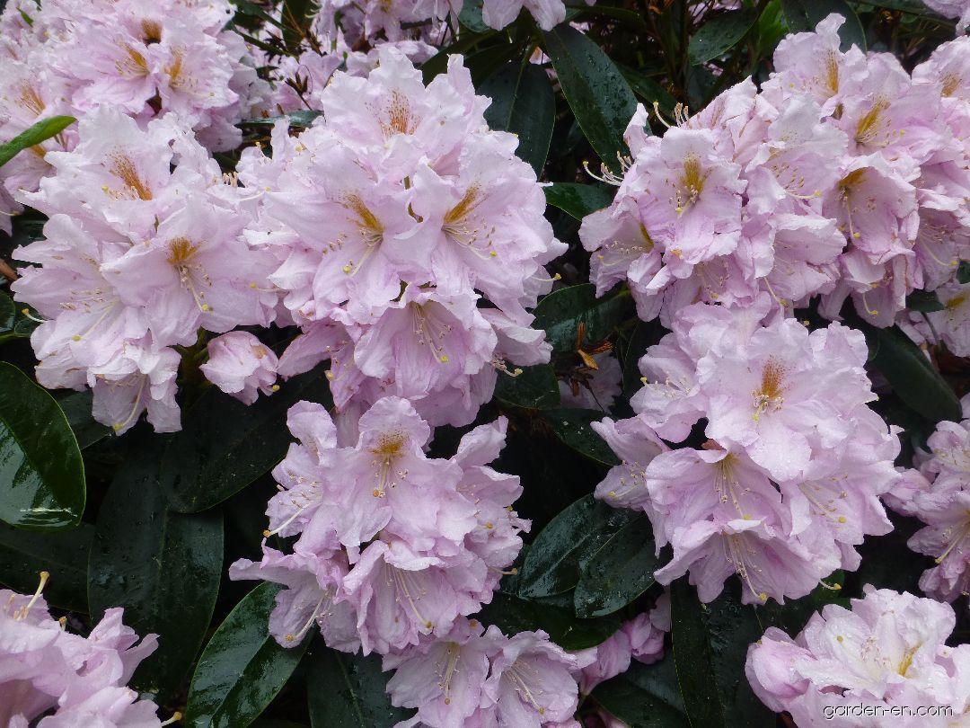 Pěnišník Dagmar (Rhododendron)