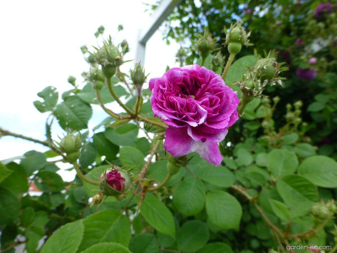 плетистая роза кримсон рамблер фото правой кнопкой