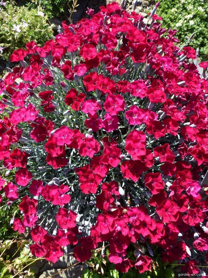 Cheddar Pink - Dianthus gratianopolitanus Rubín