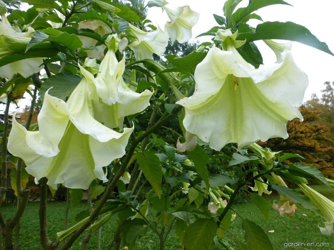 Angel Trumpet - Brugmansia suaveolens Rosa Traum