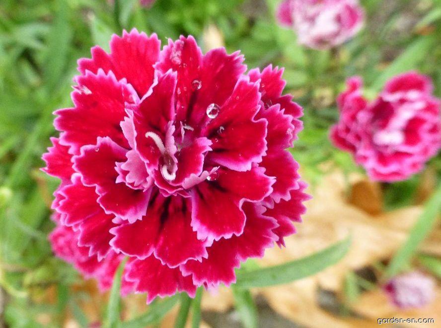 Karafiát zahradní Dynasty Rose - květ (Dianthus caryophyllus)