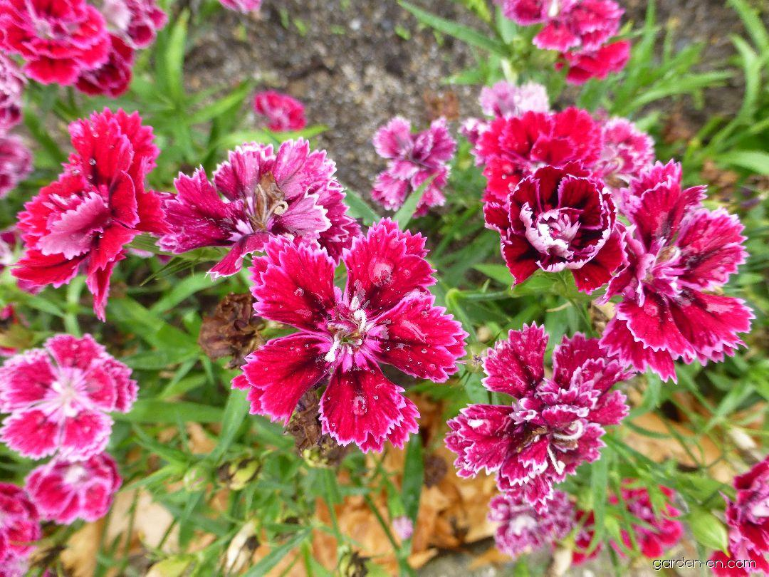 Karafiát zahradní Dynasty Rose (Dianthus caryophyllus)