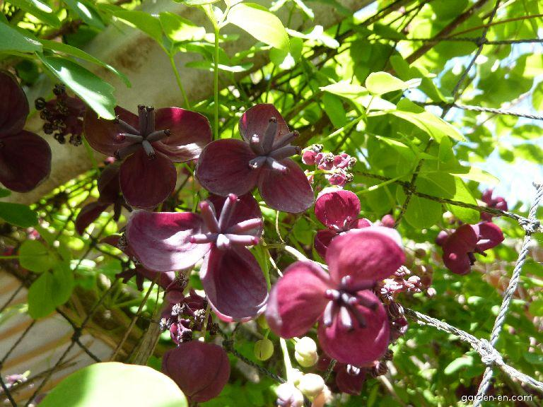 Akébie pětičetná - květ (Akebia quinata)
