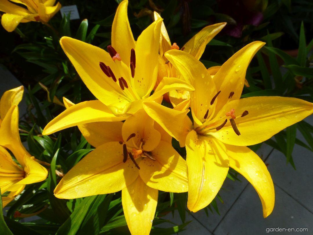Lilie Yellow Diamond - LA hybridy (Lilium x hybridum)