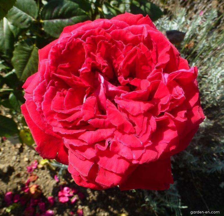 Růže Duftfestival - Velkokvěté růže - květ (Rosa)