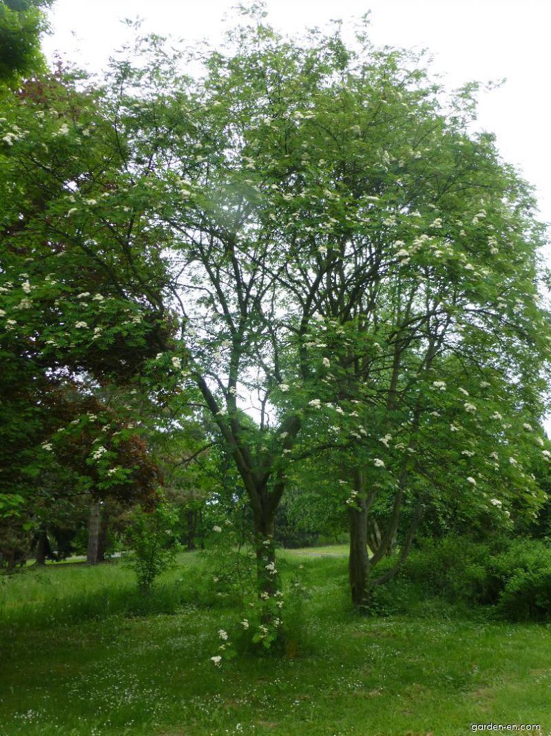 Jeřáb pomíchaný - habitus v květu (Sorbus commixta)