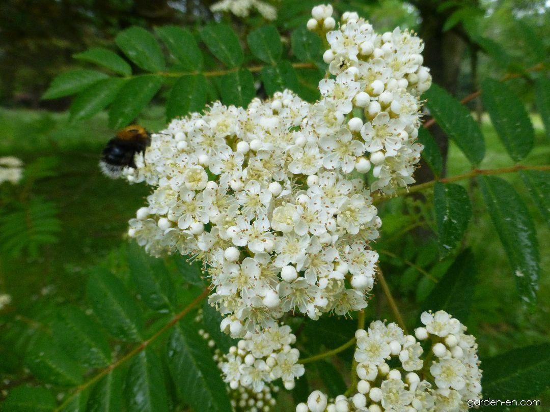 Jeřáb pomíchaný - větévka s květem (Sorbus commixta)