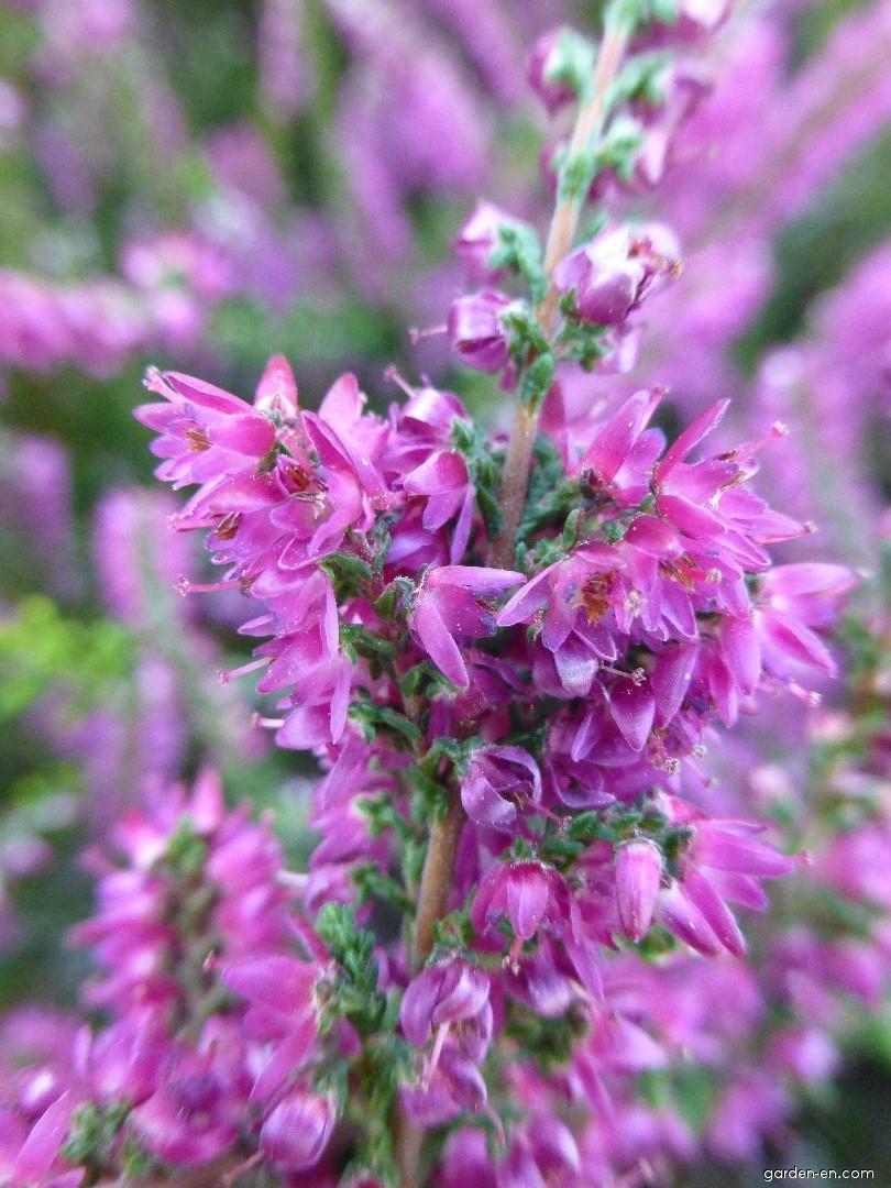 Heather - Calluna vulgaris Allegretto