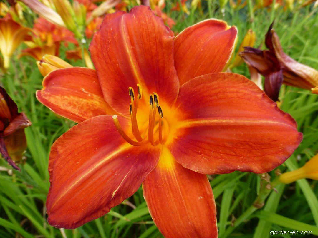 Denivka Chicago Fire - květ (Hemerocallis hybrida)
