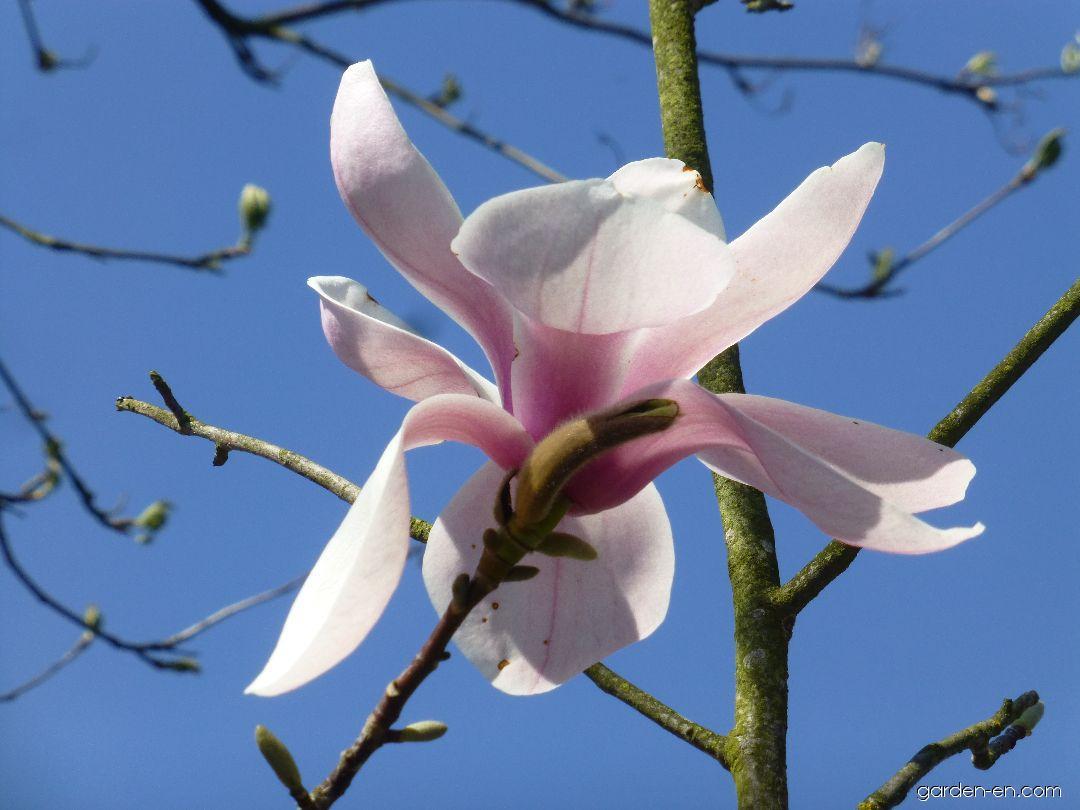 Šácholan Köln - větévka s květem (Magnolia sprengeri)