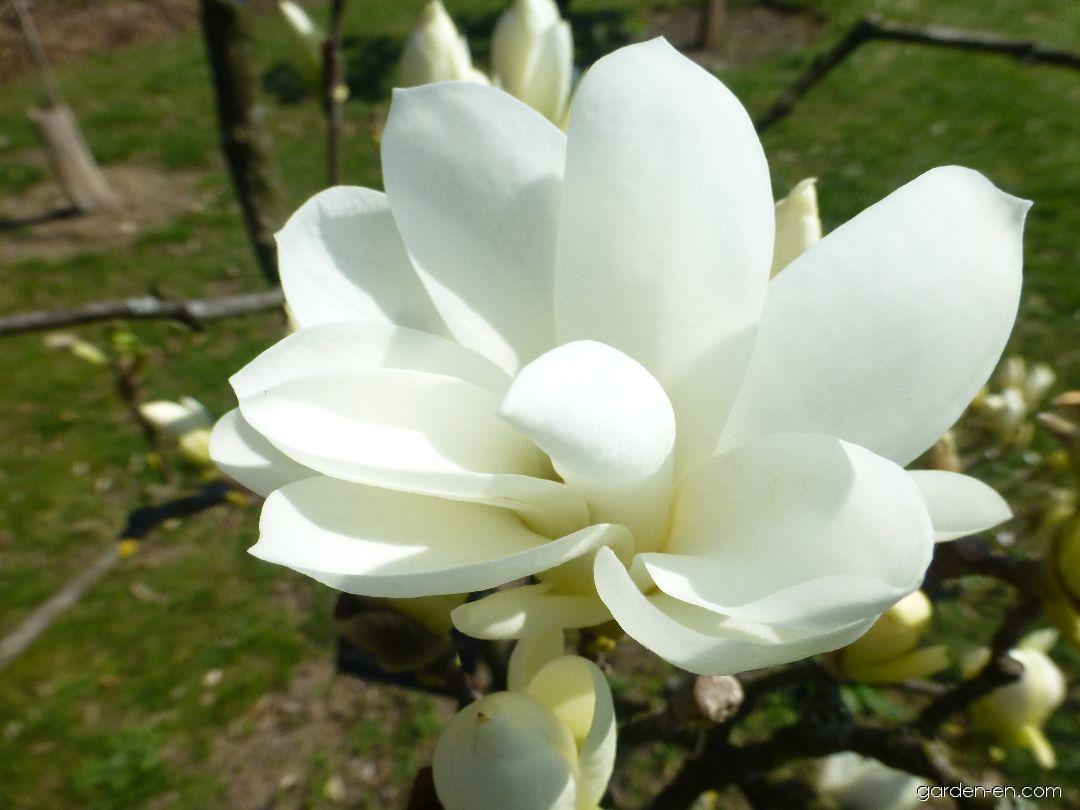 Magnolia - Magnolia Pristine
