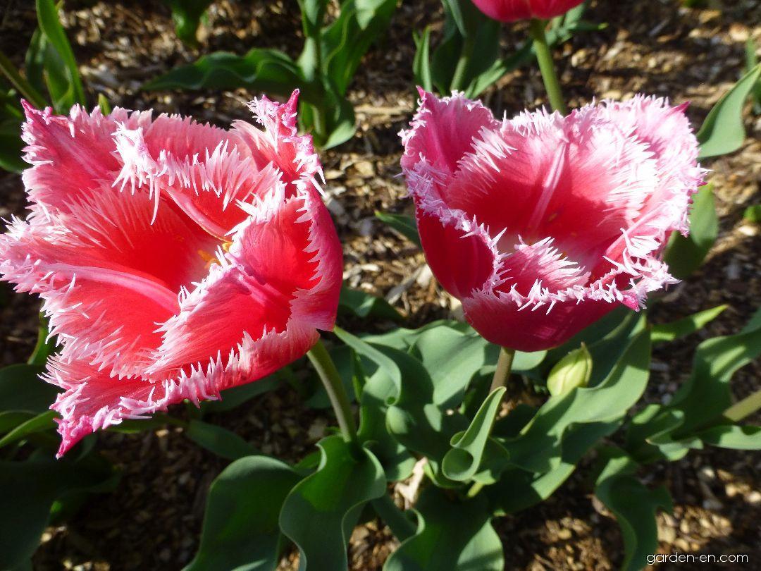 Tulip - Tulipa Bell Song