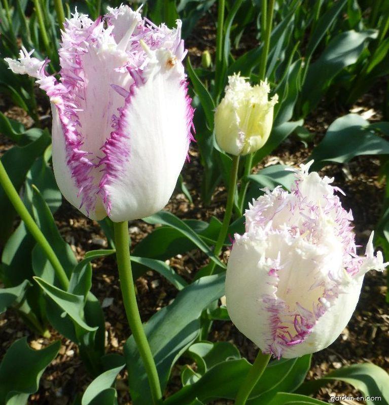 Tulip - Tulipa Aria Card
