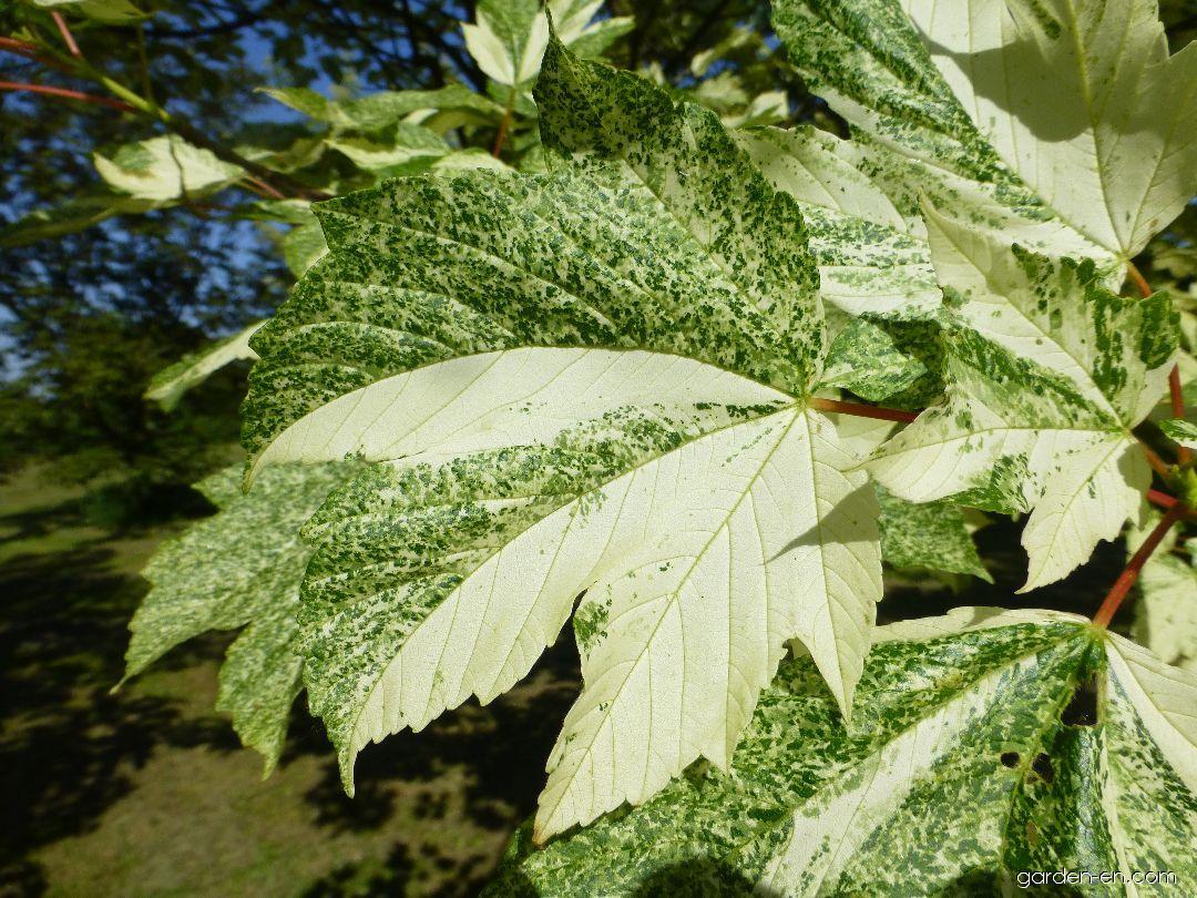 Sycamore Maple Acer Pseudoplatanus Simon Louis Freres Garden Encom