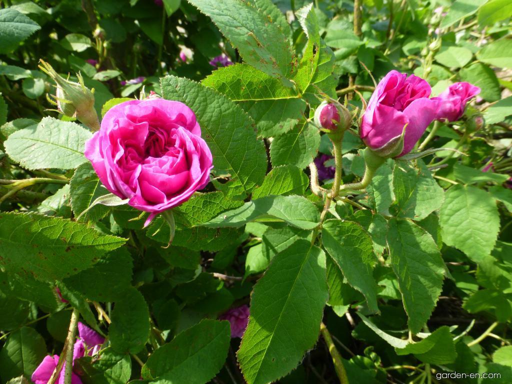 rose rosa indigo garden. Black Bedroom Furniture Sets. Home Design Ideas