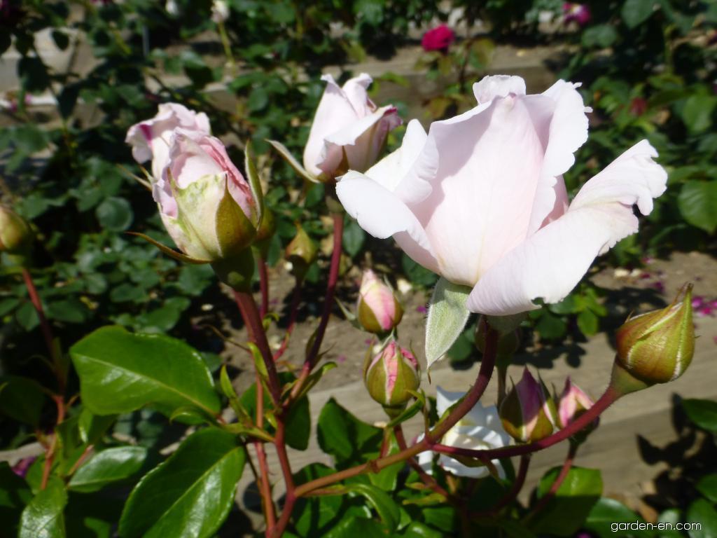 rose rosa constanze mozart garden. Black Bedroom Furniture Sets. Home Design Ideas