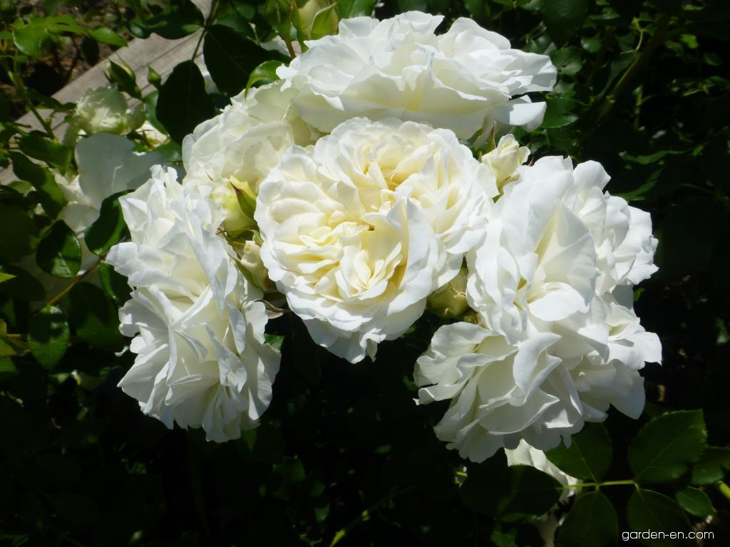 Rose - Rosa Kosmos