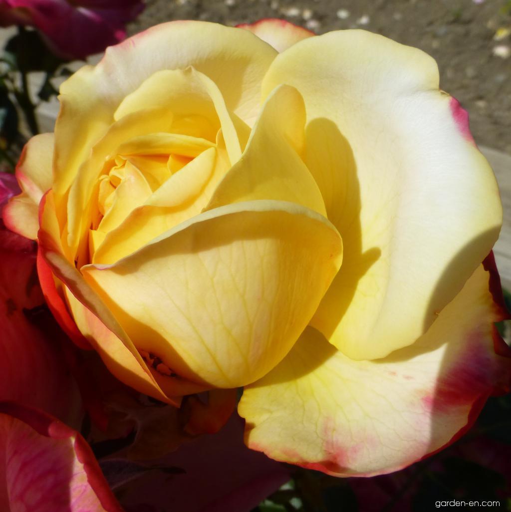 Rose - Rosa Kordes Jubilee