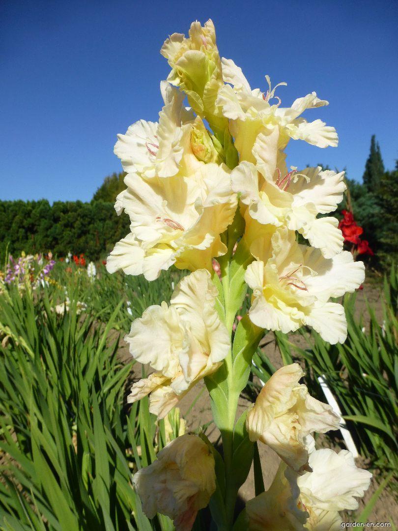 Mečík Freska (Gladiolus x hybridus)