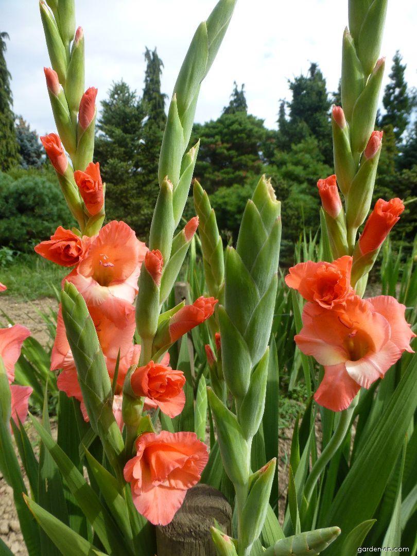 Mečík Joselita (Gladiolus x hybridus)