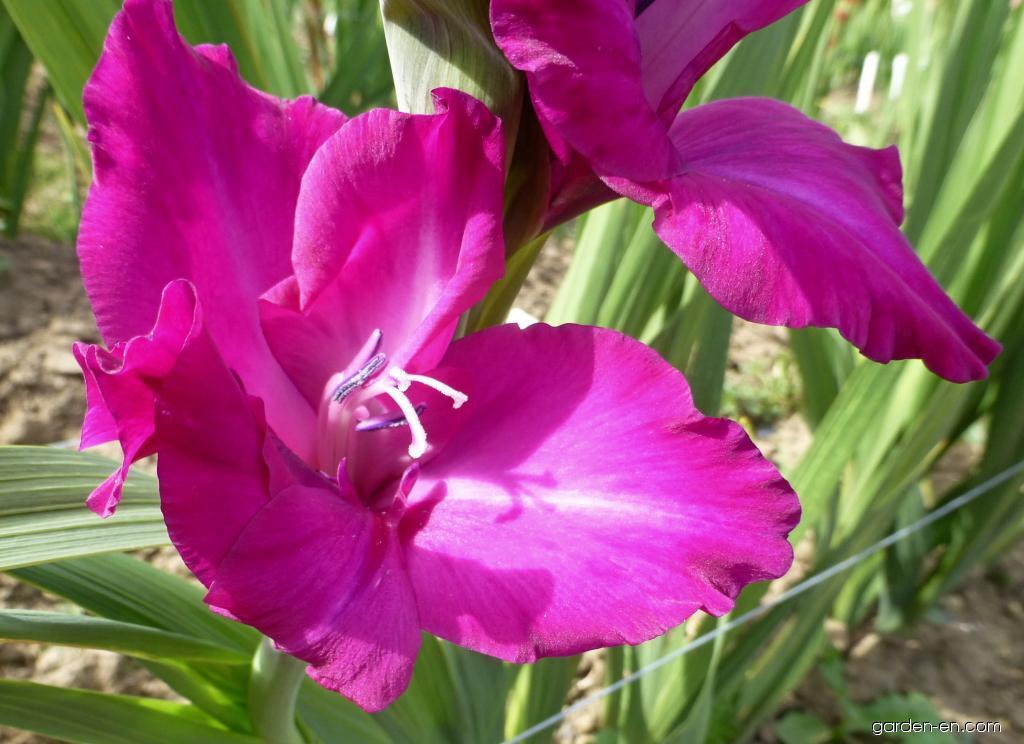 Mečík Neptune - květ (Gladiolus x hybridus)
