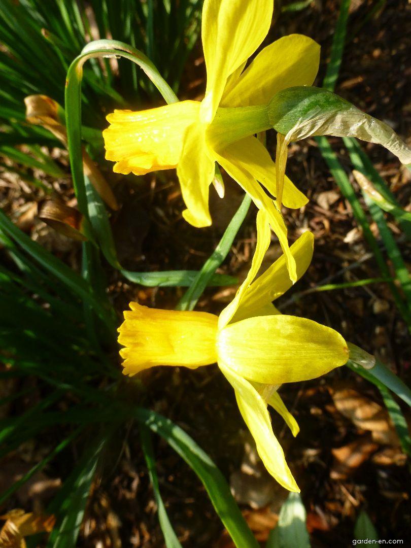 Daffodil - Narcissus Itzim