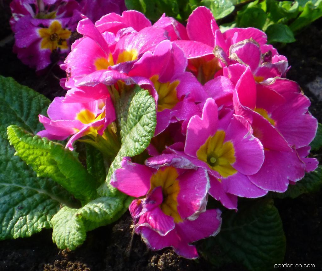 Polyanthus Primrose - Primula x polyantha You and Me Rose