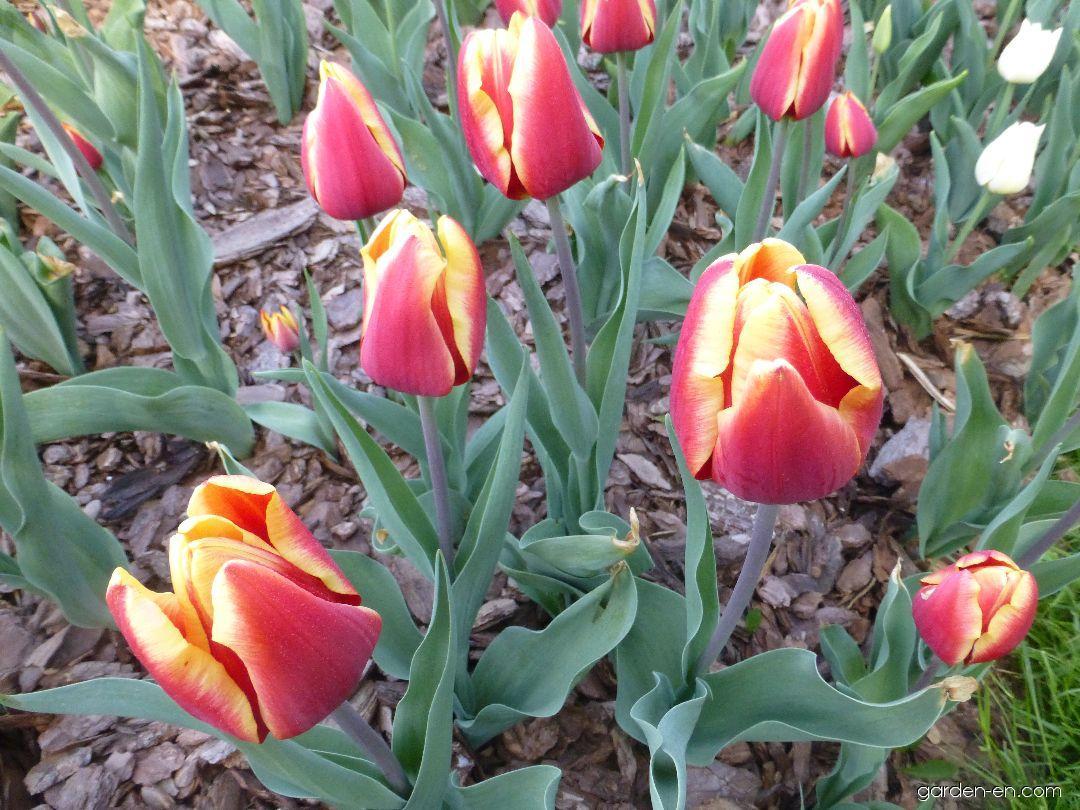 Tulip - Tulipa Jan Seignette