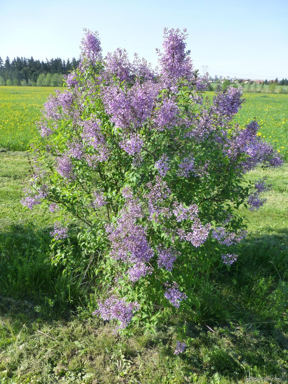 Chinese Lilac - Syringa x chinensis Saugeana
