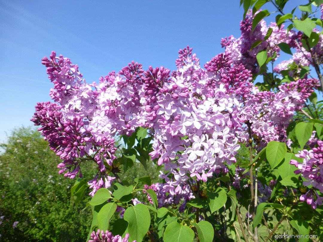 Hyacinth Flowering Lilac - Syringa x hyacinthiflora Esther Staley
