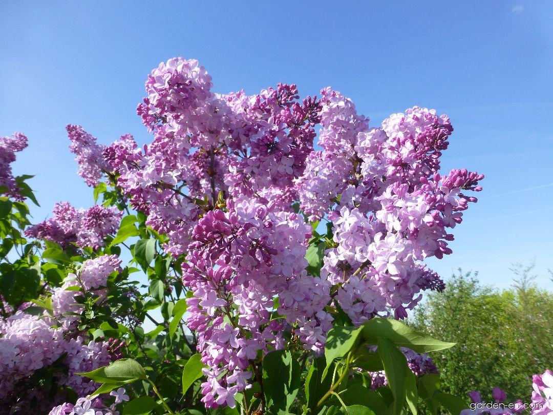 Hyacinth Flowering Lilac - Syringa x hyacinthiflora Esther Staley