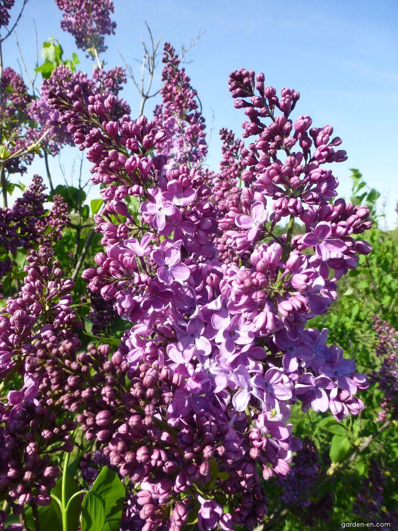 Hyacinth Flowering Lilac - Syringa x hyacinthiflora Pink Spray