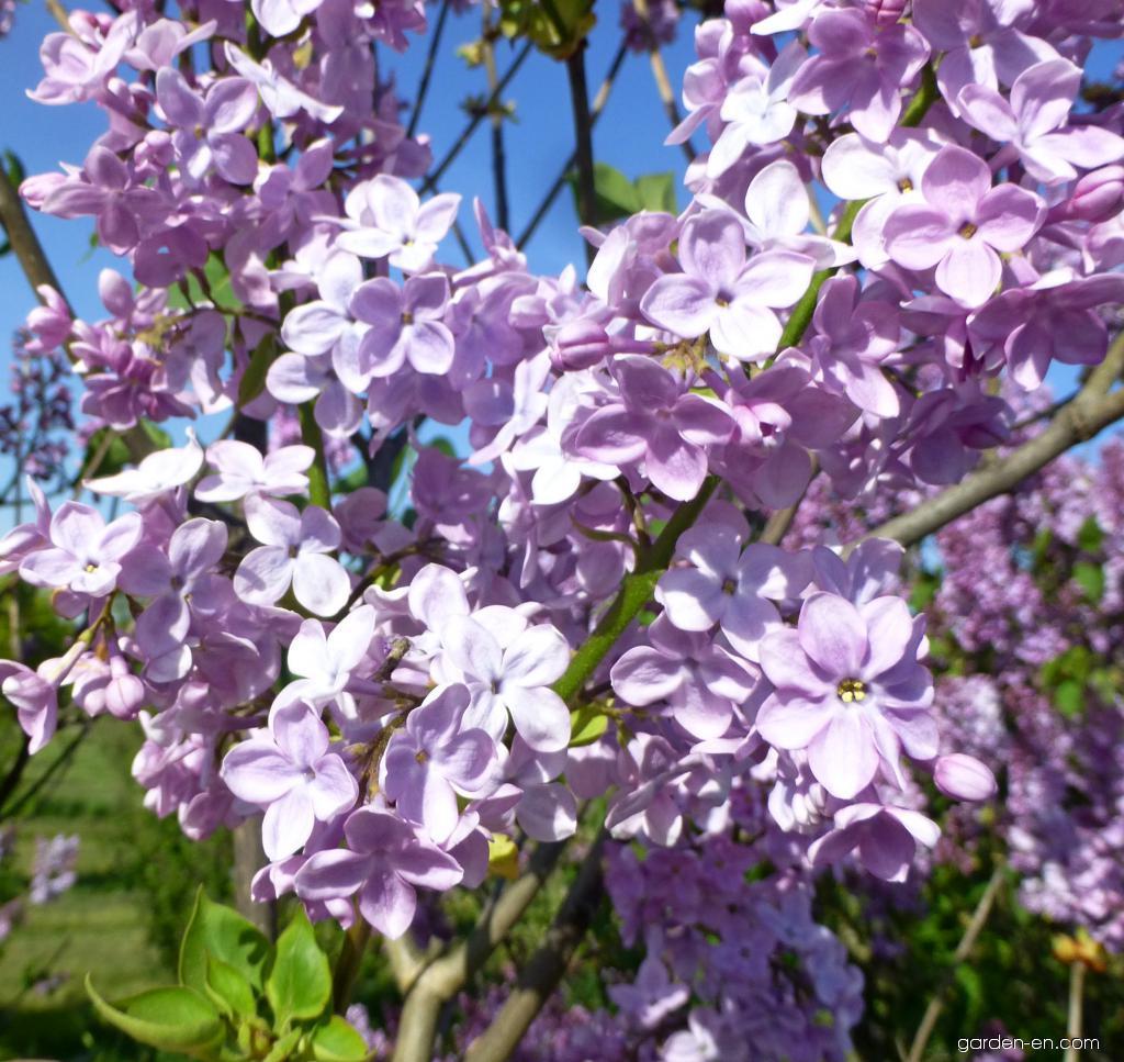 Hyacinth Flowering Lilac - Syringa x hyacinthiflora Pink Cloud