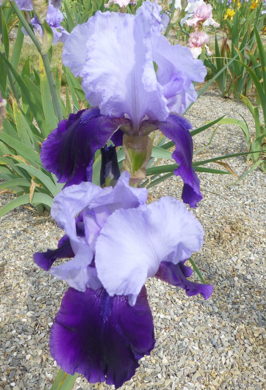 Bearded Iris - Iris barbata River Hawk