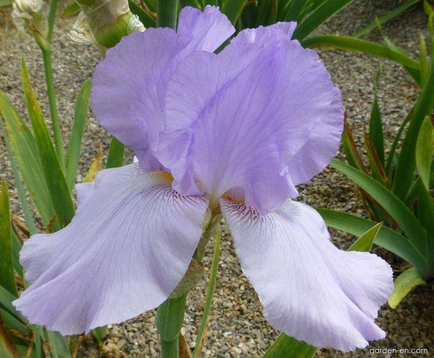 Bearded Iris - Iris barbata Lilac Haze