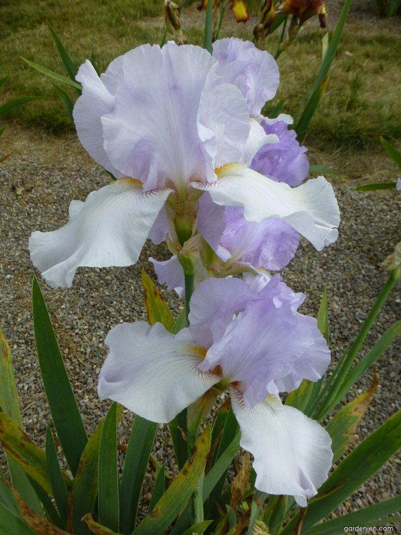 Iris barbata Lilac Haze (Bearded Iris)