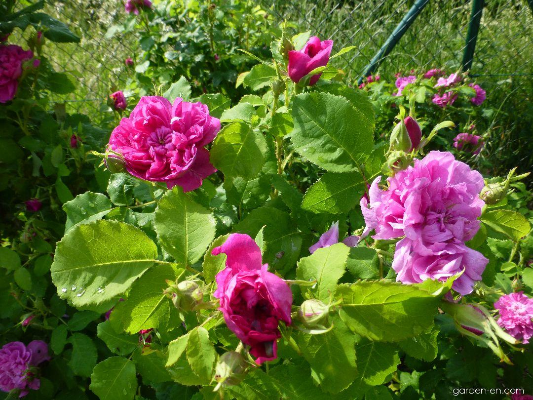 Rose - Rosa Duchess of Portland