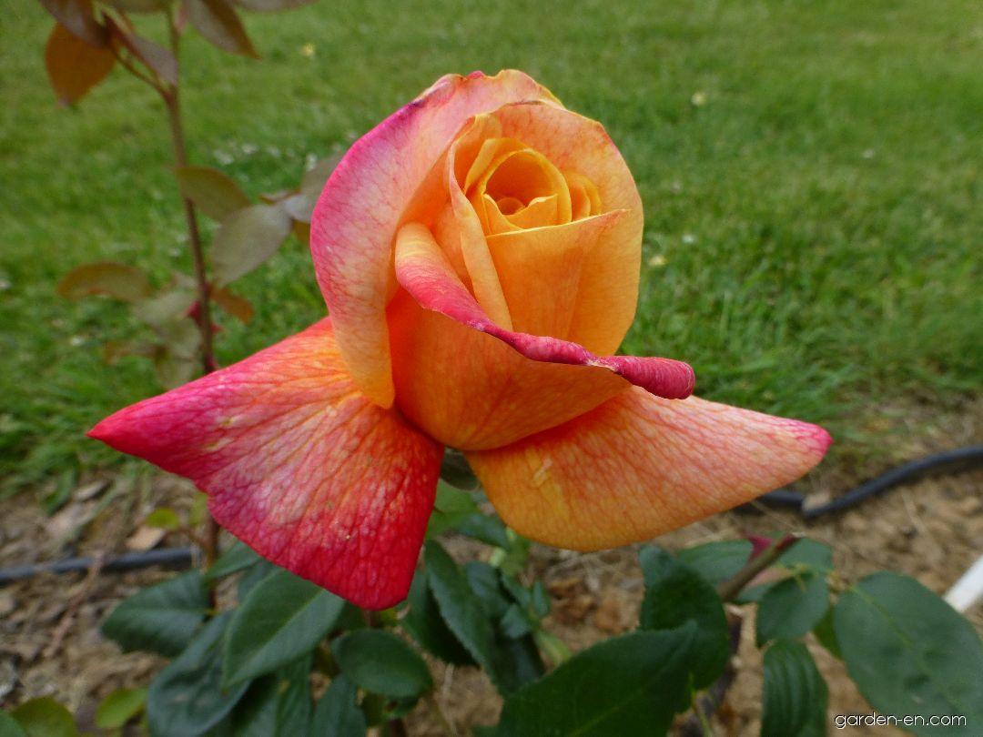 Rose - Rosa Sutter s Gold