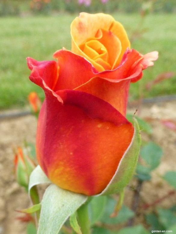 Rose - Rosa Sutter s Gold
