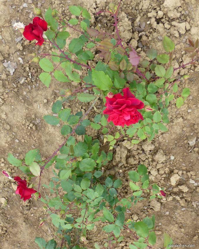 Rose - Rosa Bezruč