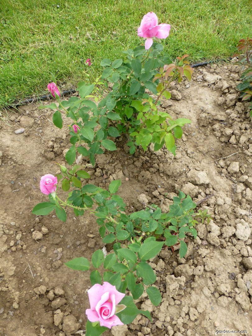 Rose - Rosa Jadis
