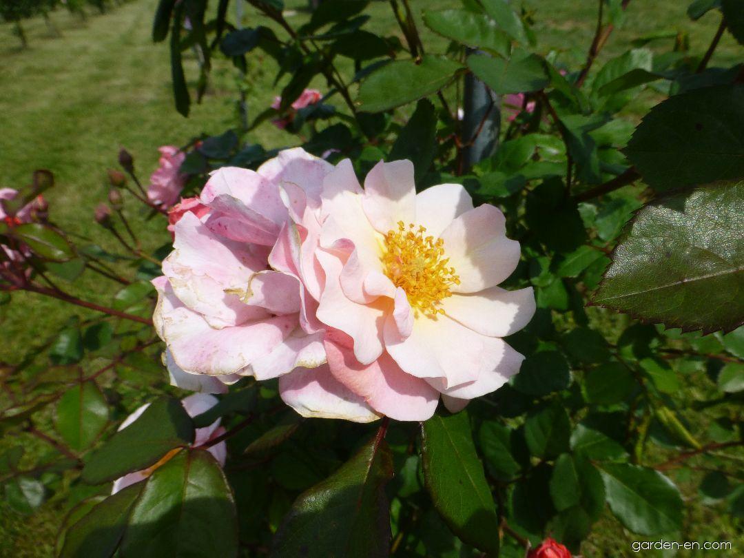 Rose - Rosa Clair Matin