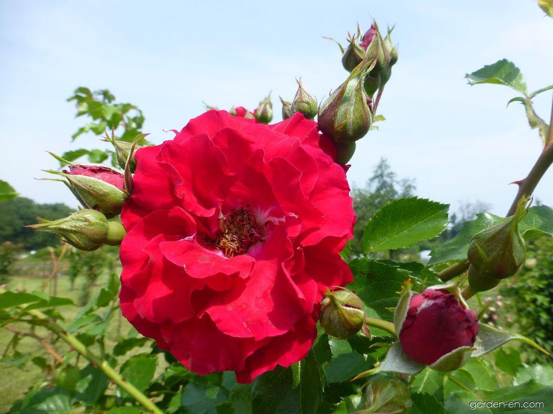 Rose - Rosa Ludvík Večeřa